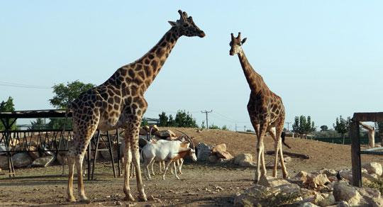 Athene_attica-zoo-dierentuin